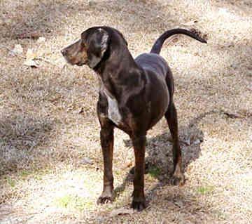Plott Hound | plott-hound-0008.jpg