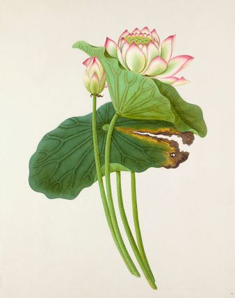 Watercolour on rice paper of plant identified as Nelumbo nucifera (Lotus) from one of four bound albums of paintings by anonymous Chinese artists purchased by the Royal Horticultural Society in 1912. Date c.19th