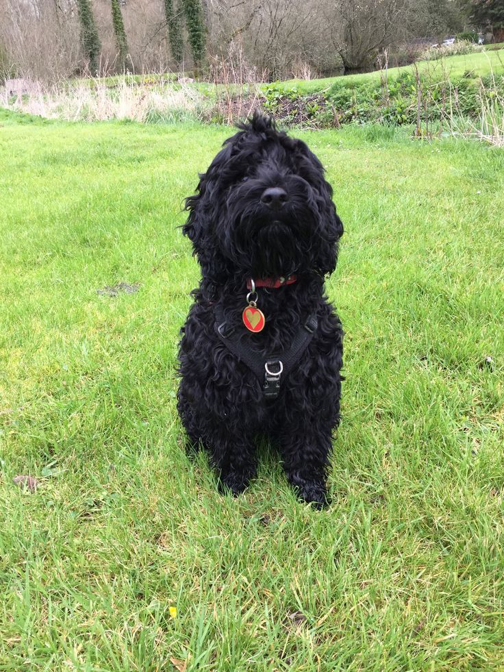 Sybil, our black Cockapoo puppy, aged 5 months