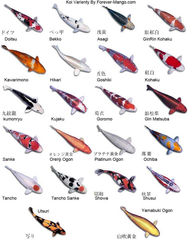 This chart showing Koi fish coloration variations caught my eye. We used to have…