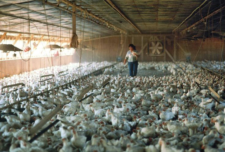 Poultry Farming Business Plan In Nigeria - Better opinion
