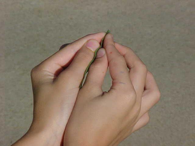 Blowing on a blade of grass between your fingers to make that distinctive sound - von Klassenkameraden auf einer Grundschul-Wanderung im Gartenfeld gelernt.