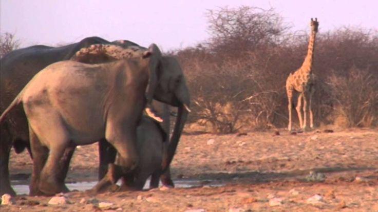 Животные пустыни. Национальный парк Этоша. Намибия.