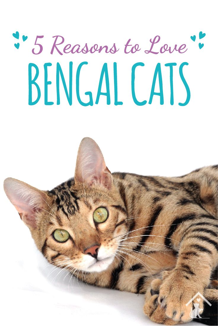 Click the pin to see why we love the Bengal cat breed! #catbreed #cutecat