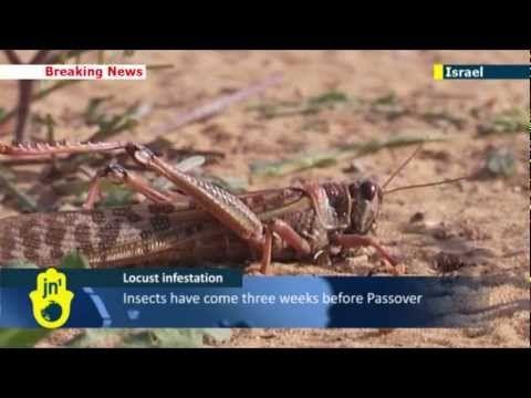 Dio colpisce anche Israele con le locuste   La Buona Strada