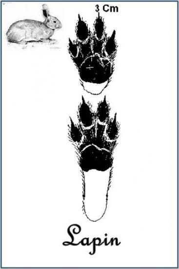 Lapin de garenne (Oryctolagus cuniculus)                                                                                                                                                                                 Plus