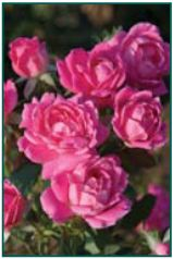 Rosa 'Pink Double Knockout'® ('Radtkopink') PP18507