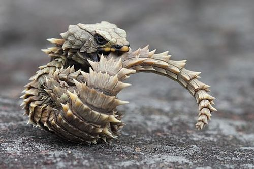 The armadillo girdled lizard, Ouroborus cataphractus, is a lizard endemic to desert areas of southern Africa.