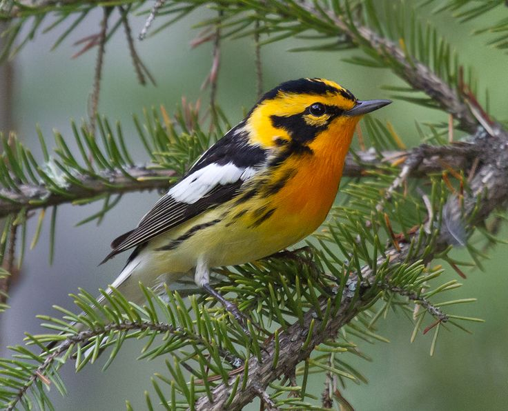 Blackburnian Warbler | Canon Digital Photography Forums