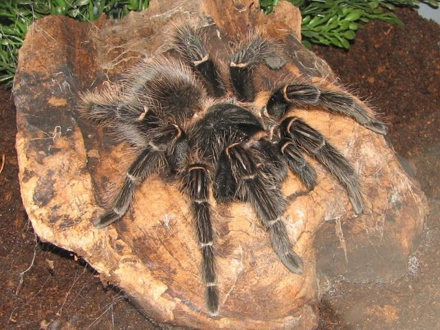 Amazing Tarantula spider - Giant Tarantula Facts, Photos, Information, Habitats…