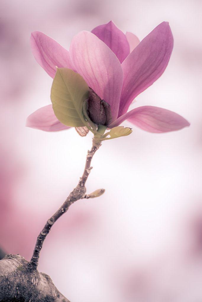 #bokeh  pink magnolia