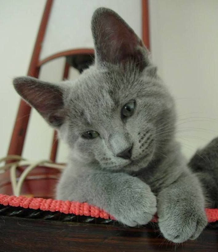 A 12 week old RB kitten looking very adorable.