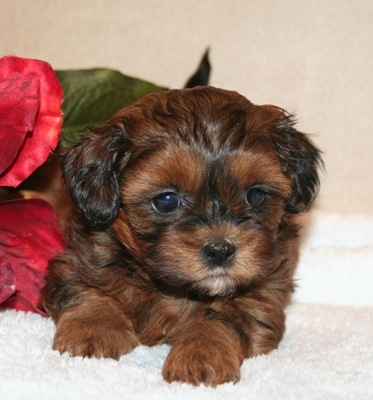 My shih-poo, Chanel, looked like this as a puppy