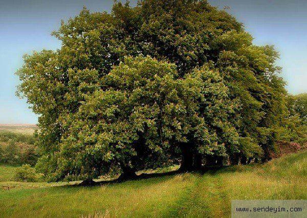 Doğum Tarihinize Göre Hangi Ağaçsınız - 15-24 Mayıs : Kestane: (Dürüstlük) Alışılmadık bir güzelliği vardır ama insanları etkilemek gibi bir derdi yoktur. Adil ve neşelidir. Doğuştan diplomattır. Çok kolay huzursuzluğa kapılır ama her türlü ilişkisinde hassastır. Bazen olağandışı davranır. Sevgili bulmakta güçlük çeker.