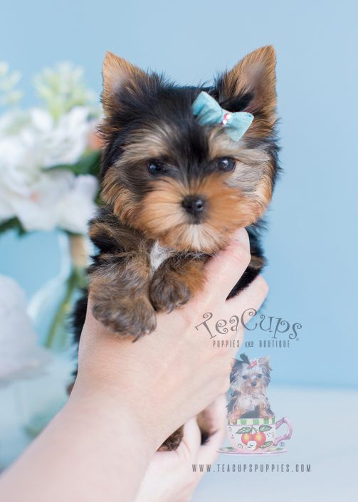 Adorable Yorkie Puppy For Sale by TeaCupsPuppies.com