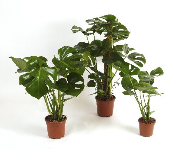 Swiss cheese plant house plants pinterest for Plante monstera