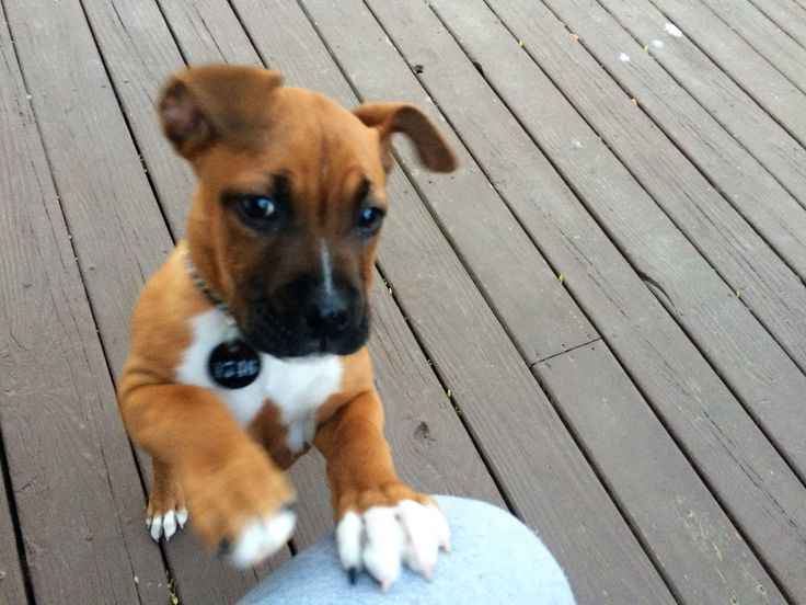 Boxer and Pitbull mix 10 weeks                                                                                                                                                                                 More