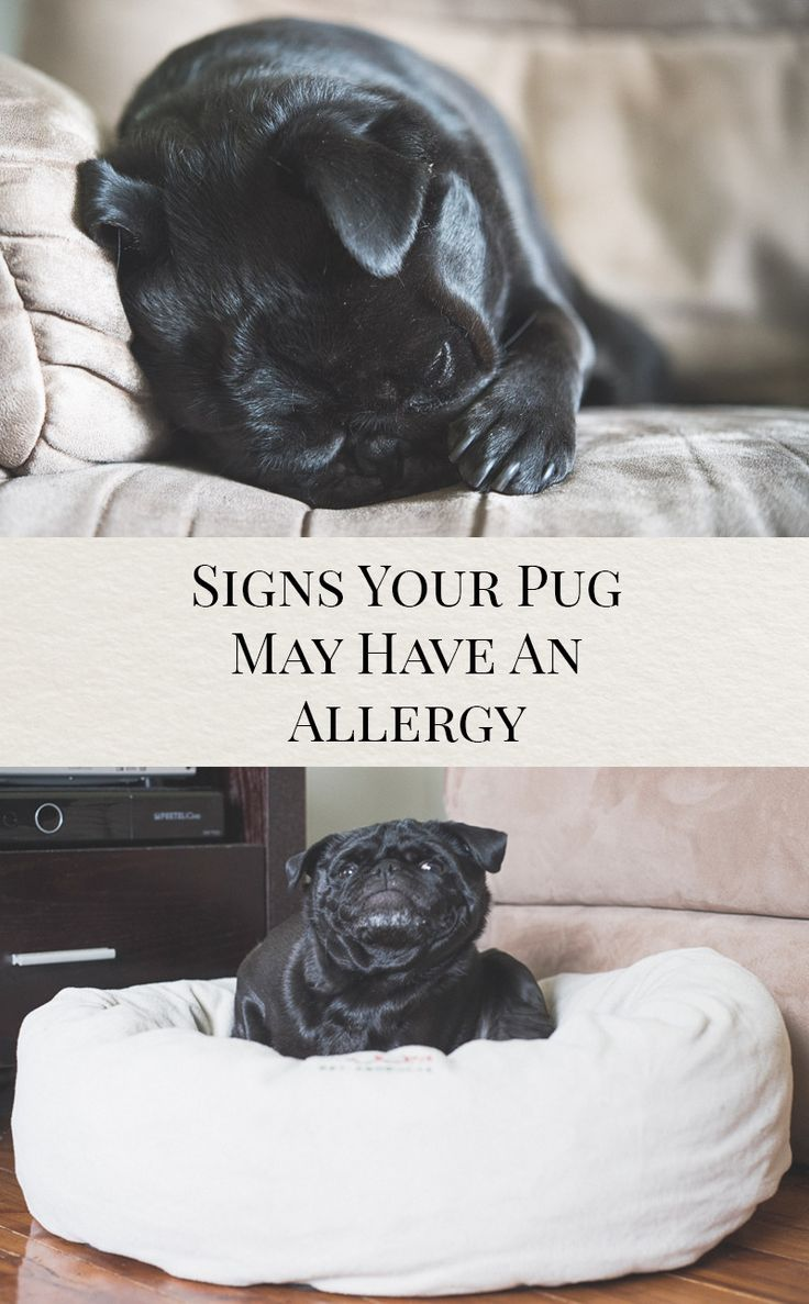 Signs Your Pug May Have an Allergy http://www.thepugdiary.com/signs-pug-may-allergy/