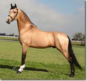 Tennessee Walking Horse>>> Tennessee walkers really jack me up with their fast moving feets that go stompity stomp