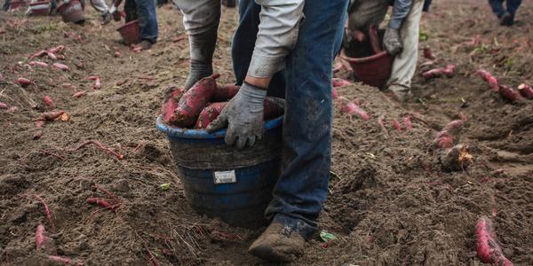 Giorno del Ringraziamento: il crudele sfruttamento che si nasconde dietro le patate dolci (FOTO)
