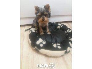 Animale de companie, Vanzari, cumparari, Vând catelusa yorkshire terrier toy , imaginea 1 din 2