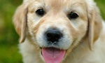 PUPPEHS!  live webcam of holly and her 6 golden retriever puppies from warrior canine connection