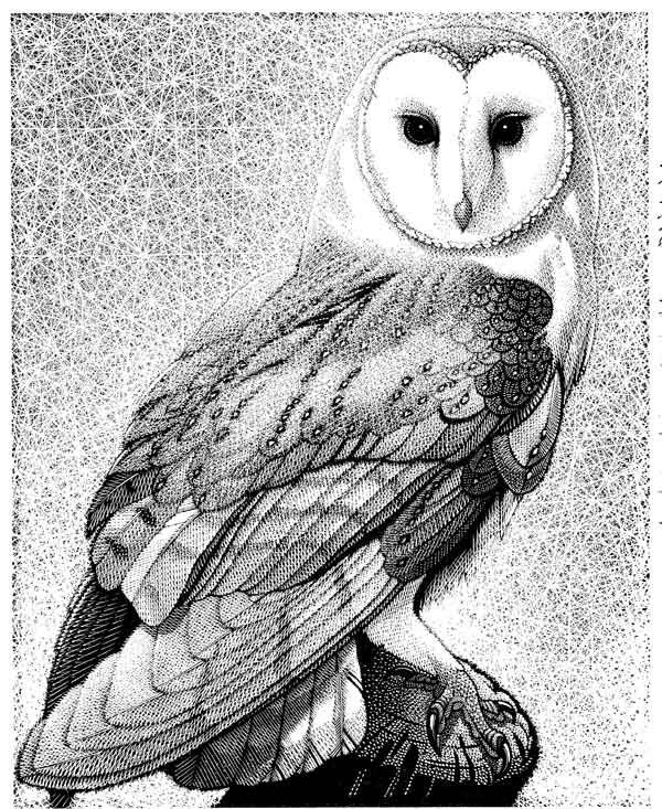 Barn Owl ~ Wood Engraving ~ Colin See-Paynton ~ The Wildlife Art Gallery