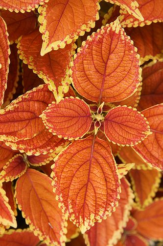Coleus 'Rustic Orange' - GORGEOUS!!