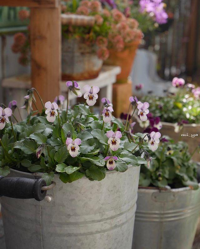 * #my_garden#庭#ガーデニング #ビオラ#野ねずみジミー 久しぶりにお庭へ · 可愛いく咲いていました♪