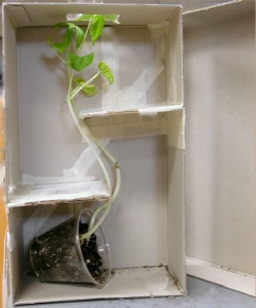 Watch a plant chase the light! Shoe Box Maze and other 5 Minute Science Experiments for Kids on Frugal Coupon Living. Homeschool science ideas.