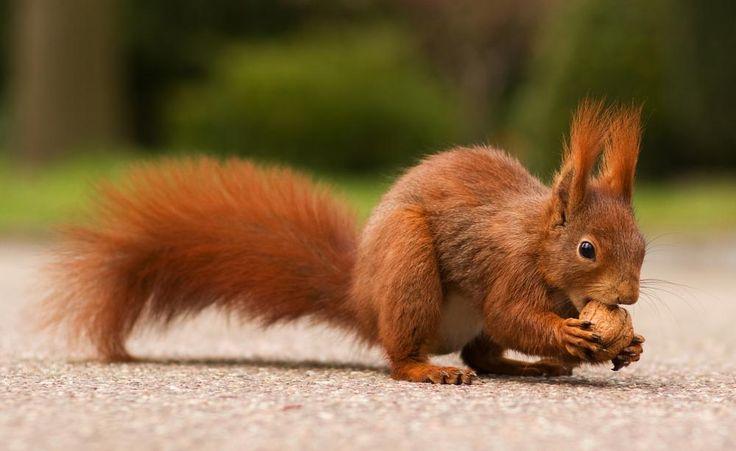Wer einen Walnussbaum im Garten hat, kann Eichhörnchen häufig aus nächster Nähe bei der Futtersuche beobachten