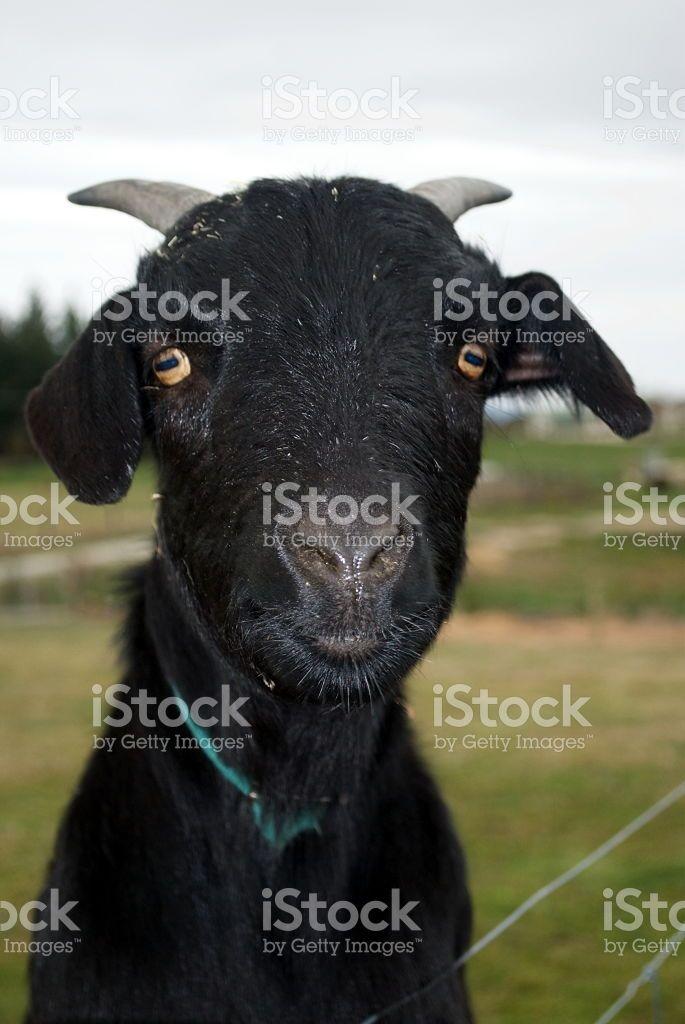 Black Goat royalty-free stock photo