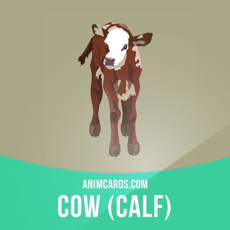 A cow must have a calf in order to produce milk. Calves are fed milk until they are 8-9 weeks old. The average cow is 2 years old when she has her first calf. Calves are fed milk until they are 8-9 weeks old. A young female cow is called a heifer.  #english #englishlanguage #learnenglish #studyenglish #language #vocabulary #dictionary #englishlearning #vocab #animals #calf #cow #mammals #calves #heifer
