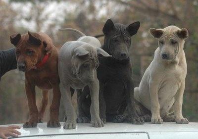 Thai Ridgeback puppies