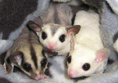 leucistic sugar gliders for sale | Sugar Gliders For Sale FOR SALE ADOPTION from Toronto Ontario @ Adpost ...