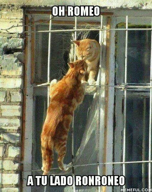 Romeo, a tu lado ronroneo. #humor #risa #graciosas #chistosas #divertidas