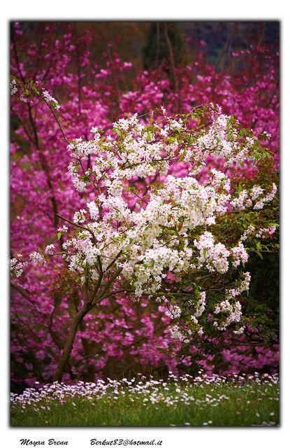 Beautiful Spring Cherry Blossoms in Norma Lazio, Italy