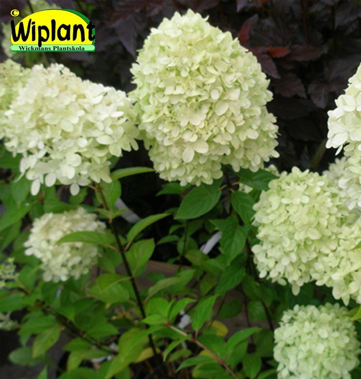 Hydrangea pan. 'Limelight', syrenhortensia. Lätt limefärgade blommor, kraftigare växt och något senare blomning än Grandiflora klon: Närpes.