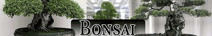 Outdoor Bonsai Trees For Sale | Ageless Beauty