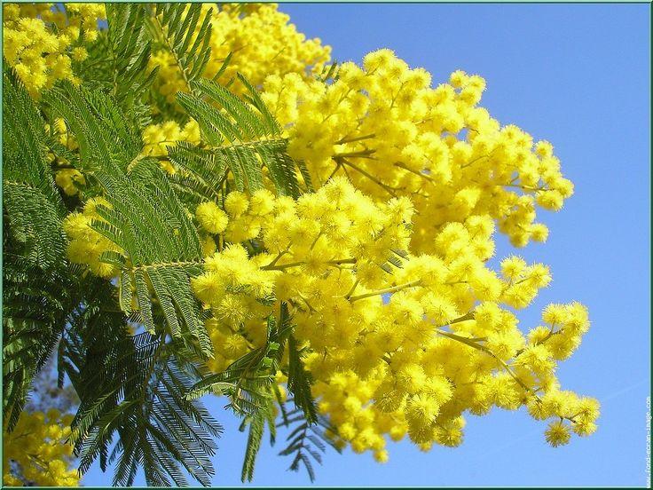 """IL #GALATEO DEI #FIORI FESTA DELLA DONNA  La mimosa dell'8 marzo è ormai una tradizione più che consolidata. Per questo non può assolutamente mancare il pensiero di un rametto di mimosa a tutte le donne presenti nella nostra vita. Anche tra amiche e colleghe è un gesto carino e sempre apprezzato. E per chi non ama festeggiare la Festa della donna, scegli un piccolo bouquet floreale con un tocco di colore giallo, sarà contenta di ricevere un dono """"solo a Lei"""" dedicato."""