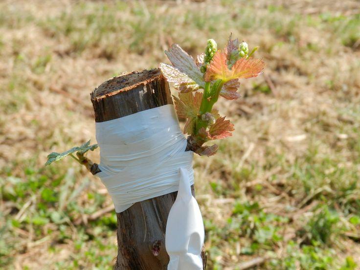 Размножение винограда прививкой. Виды, способы, технология. Фото - Ботаничка.ru