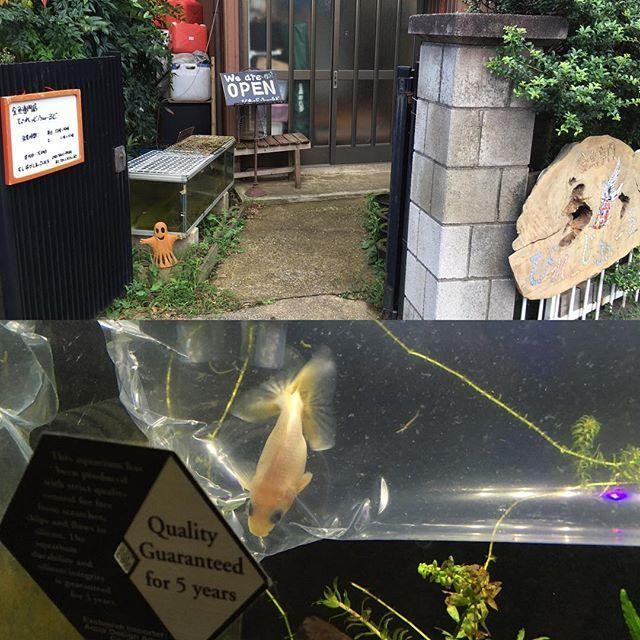 【enhance1】さんのInstagramをピンしています。 《千葉の金魚専門店 びれっじふぃーるど 今日回った金魚屋で一番入りにくいぜ、ただ金魚の質もかなり良くて、チャームなどに金魚を卸しているお店で品評会でも何度も賞を取っているようだ。 透明鱗の白和金で開き尾が欲しいって凄い要求をしたら、「あるよ」って品評会用の金魚が出てきたので、ジャンピング土下座からのエクストリーム土下座を駆使した交渉にて入手した。 #2016年8月29日 #びれっじふぃーるど #金魚専門びれっじふぃーるど #金魚 #アクアリウム》