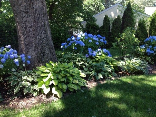 Blue hydrangeas and hosta bed landscape and gardening for Planificateur jardin