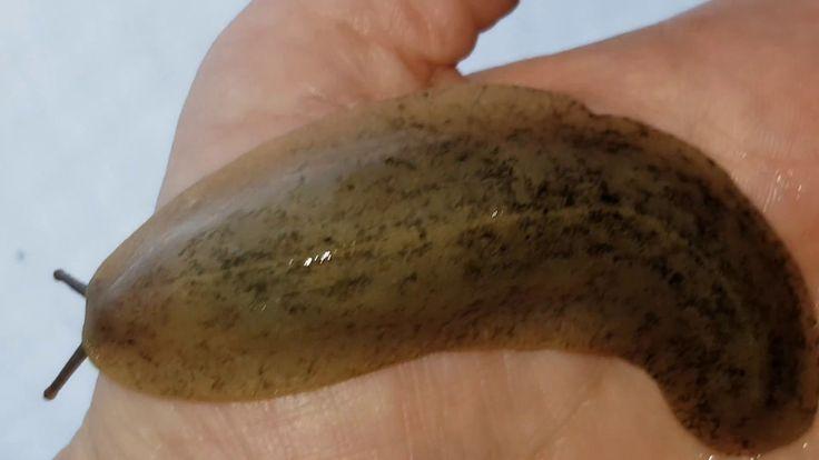 PANCAKE SLUG Veronicella sloanei IN BEELD (HD)