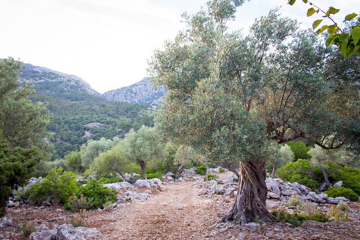 Sponsored centennial olive tree in Mallorca. 480m altitude and 320 years old. 40kg olives and 5 liters of virgin oil.