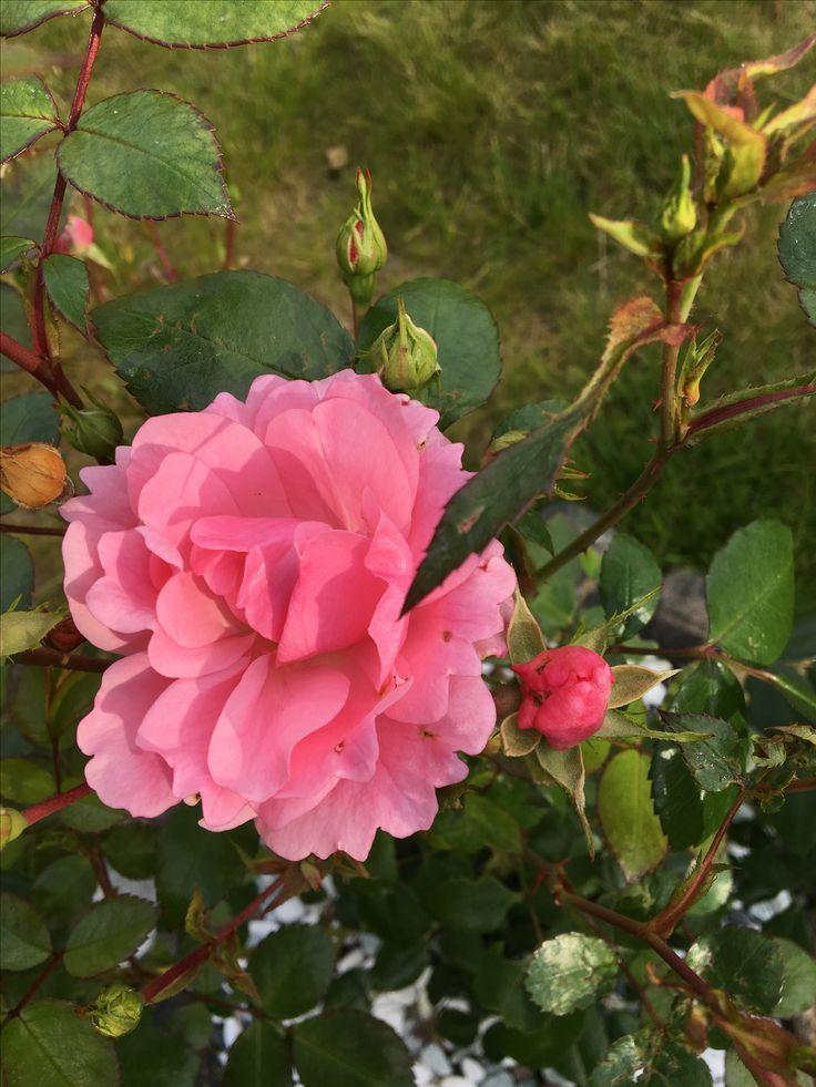 Endelig blomstra rosebuska æ har planta i hagen :)