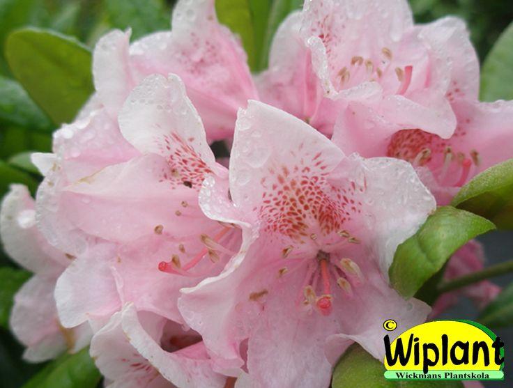 Rhododendron tigerstedtii-gruppen 'Helsinki University', rhododendron. Höjd: 2-3 m. Zon V.