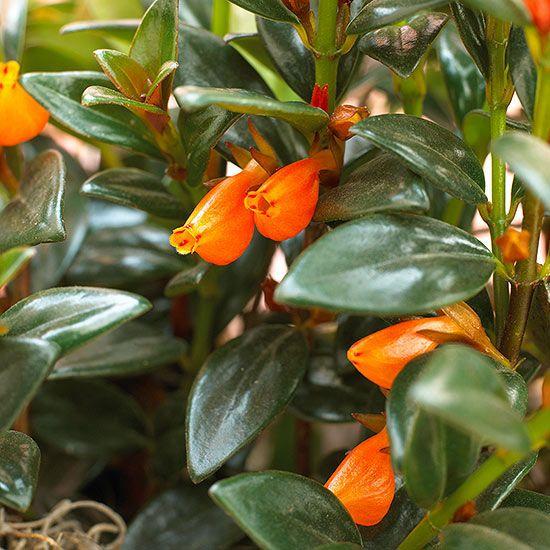 Guppy Plant (Nematanthus spp.) by bhg:  Kids love these flowers which dangle like bobbing goldfish. #Houseplants