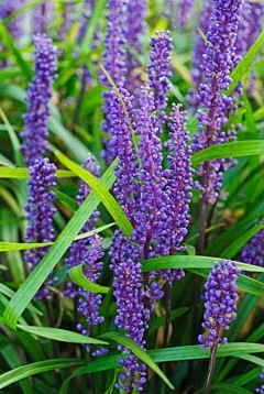 Perennials  Liriope muscari 'Big Blue' Lily turf