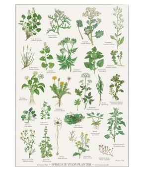 A2 Spiselige vilde planter